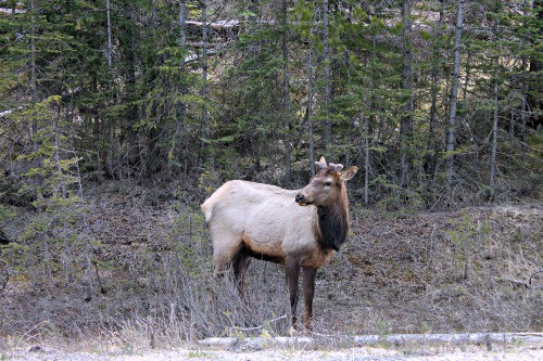 RV Trip Update Week 17: The Canadian Rockies--Elk everywhere!