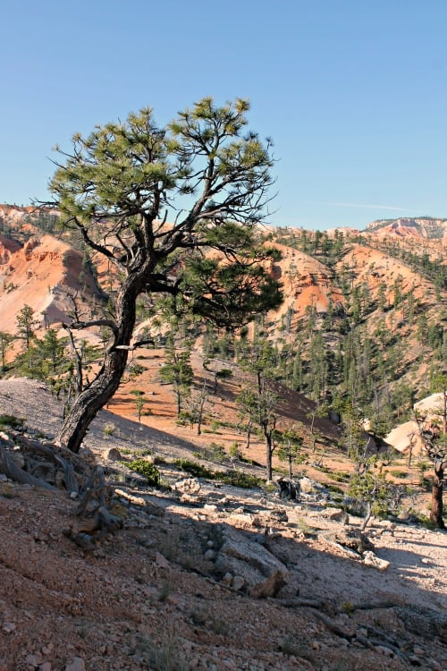 Week 21 of a 22 week road trip: Bristlecone Pine in Bryce Canyon